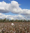 Cotton_picking