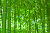 Bambooforest